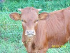 Calf out of Miss Berry 951